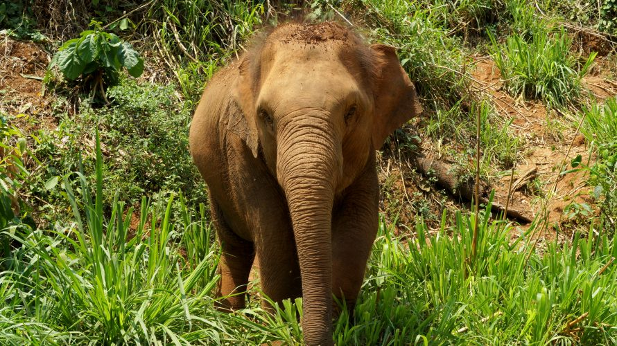 Elefanten-Camp bei Chiang-Mai: Ein wunderschöner Tag hautnah mit wundervollen Tieren!
