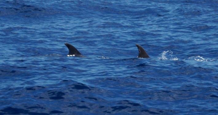 """La Palmas Küste: Delfine und Höhlen - eine """"Whalewatching-Tour"""" delfine la palma"""