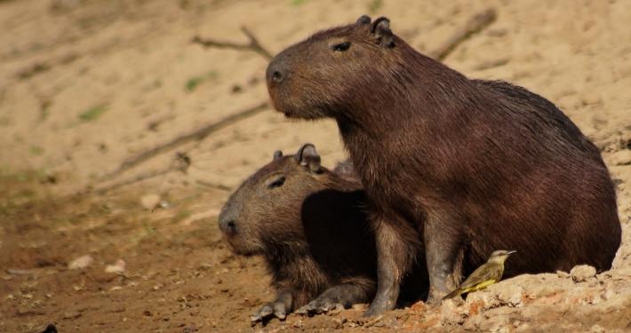 Capybara Pampas