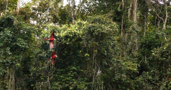 Papageien im Regenwald