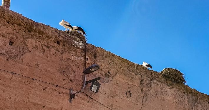 Störche auf der Mauer vom el-Badi Palast in Marrakesch