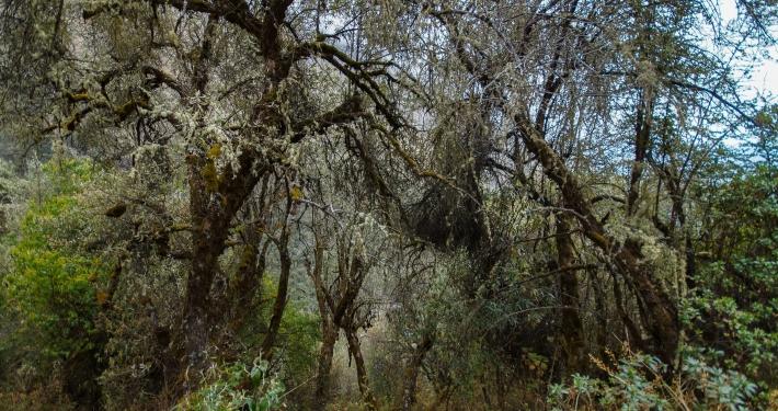 Bäume am Salkantay Trek