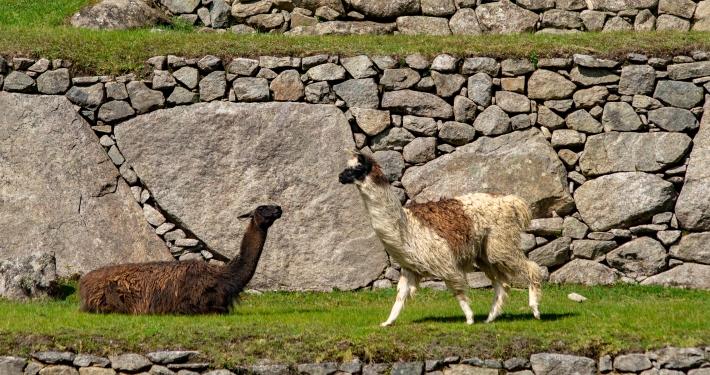 Lamas in Machu Picchu