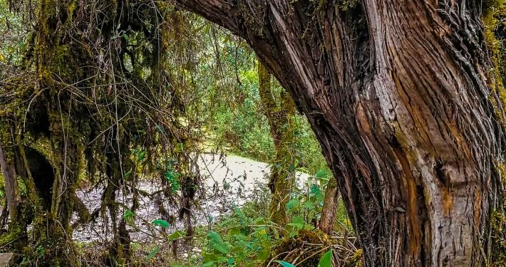 Alter Baum Salkantay Trek