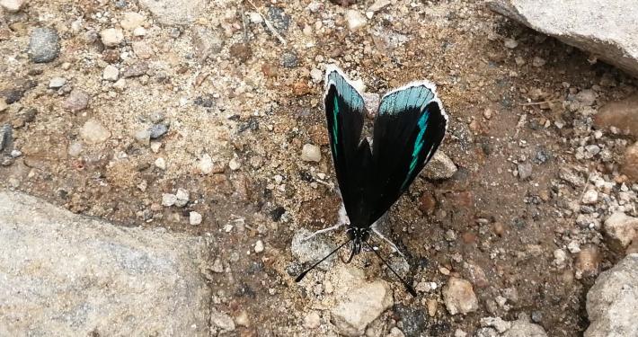 Schmetterling auf dem Salkantay Trek