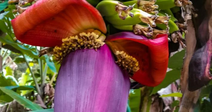Bananenpflanze Salkantay Trek