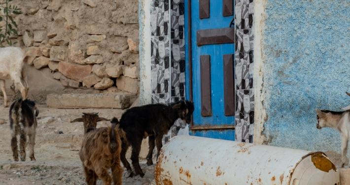 Ziegen in Taghazout