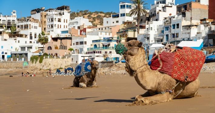 Kamele in Taghazout