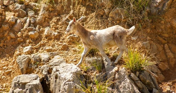 Ziegen am Stausee Gorg Blau Mallorca