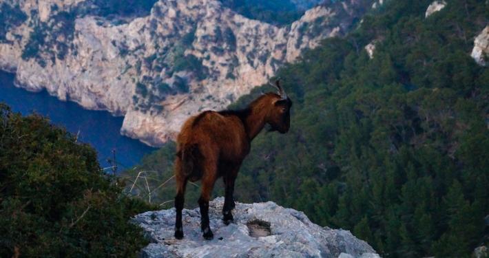 Wagemutige Bergziege am Mirador d'es Colomer