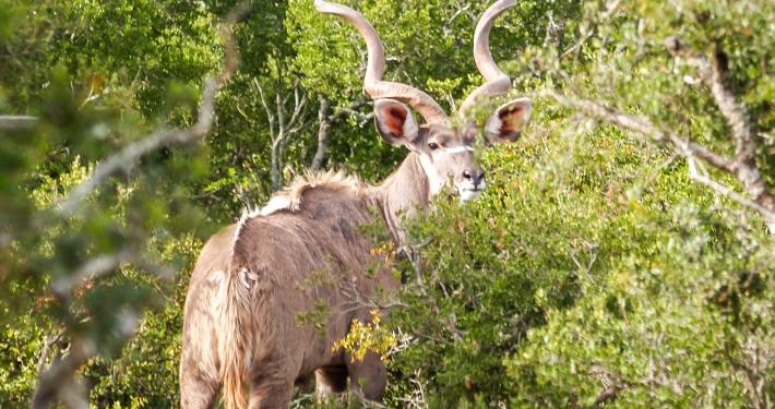 Kudu im Addo Elephant National Park Südafrika