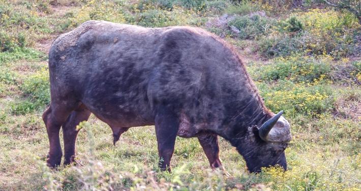 Büffel im Addo Elephant National Park Südafrika