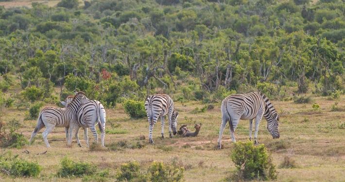 Zebras im Addo Elephant National Park Südafrika