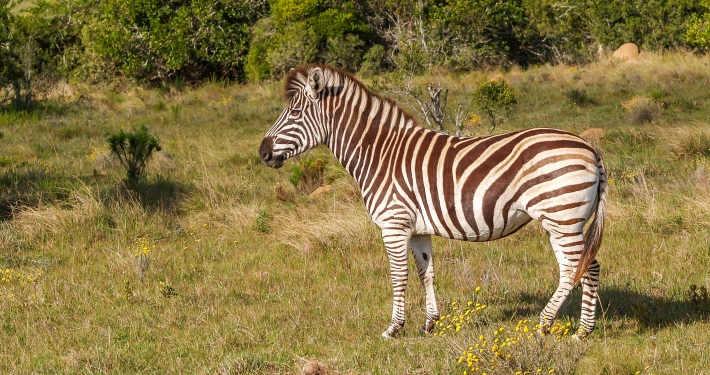 Zebra im Addo Elephant National Park Südafrika