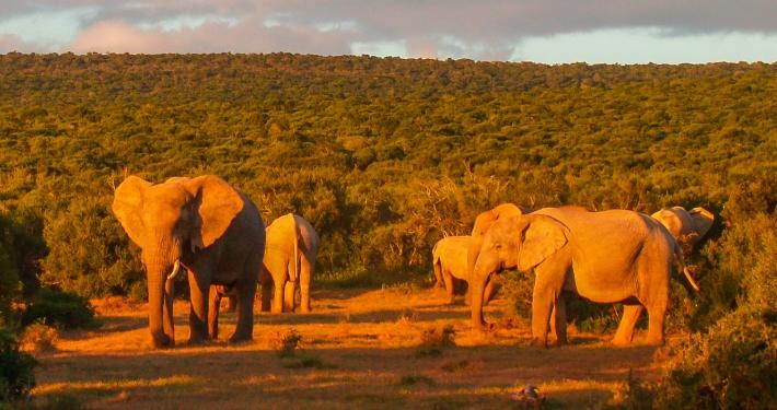Elefanten im Addo Elephant National Park Südafrika