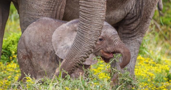 Elefantenjunges im Addo Elephant National Park Südafrika