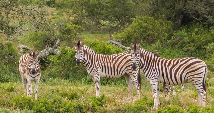 Zebras im Schotia Safaris Game Reserve Südafrika