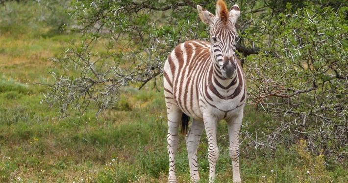Zebrajunges im Schotia Safaris Game Reserve Südafrika