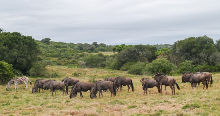 Gnus im Schotia Safaris Game Reserve Südafrika