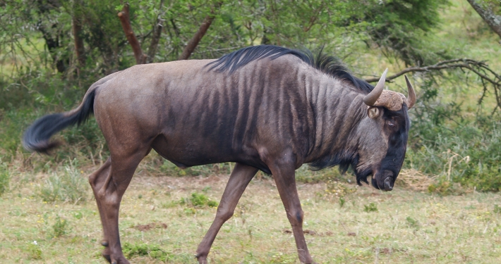 Gnu im Schotia Safaris Game Reserve Südafrika