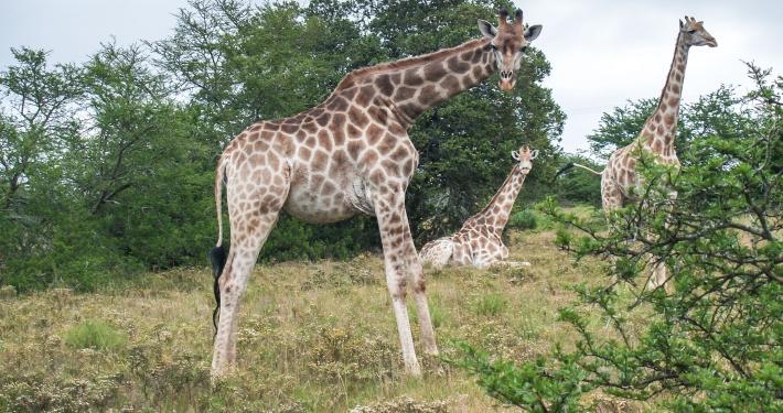 Giraffen im Schotia Safaris Game Reserve Südafrika