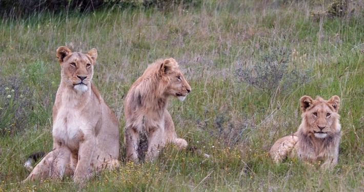 Löwen im Schotia Safaris Game Reserve Südafrika