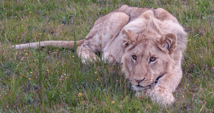 Junger Löwe im Schotia Safaris Game Reserve Südafrika