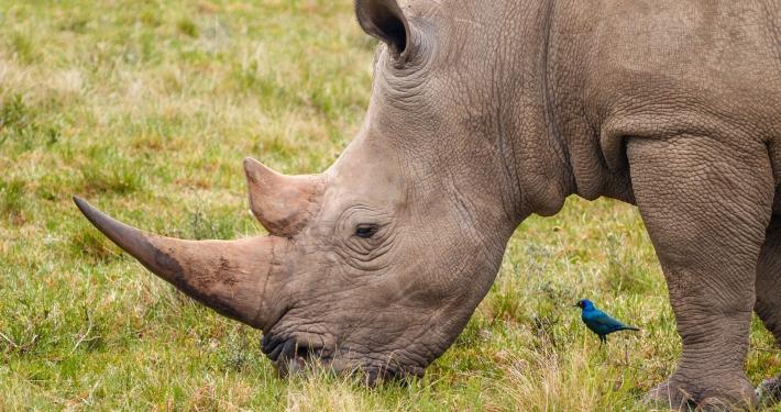 Nashorn und Glanzstar im Schotia Safaris Game Reserve Südafrika