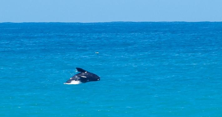 Wal im De Hoop Nature Reserve Südafrika
