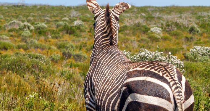Zebra im De Hoop Nature Reserve Südafrika