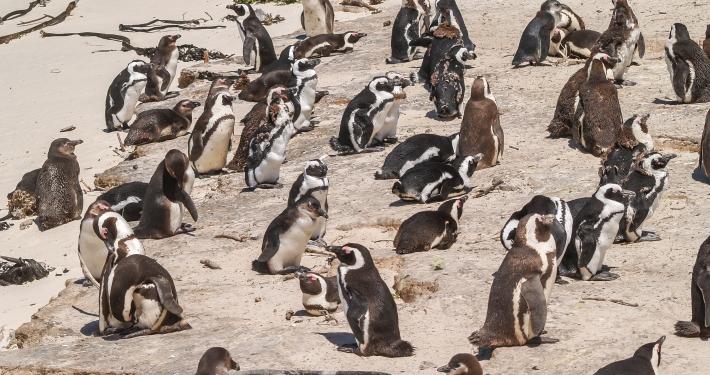 Brillenpinguine am Boulders Beach Südafrika
