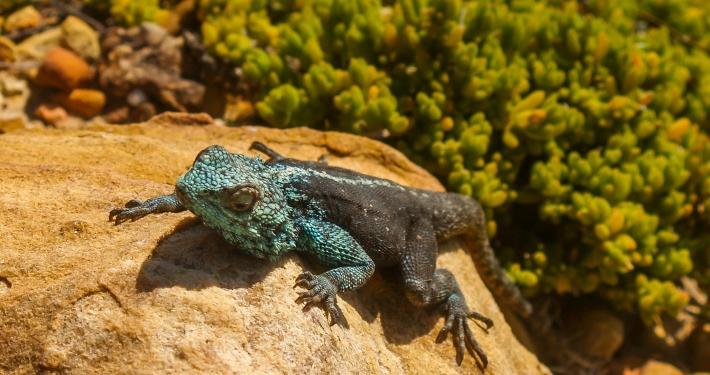 Agame Westküste Südafrika