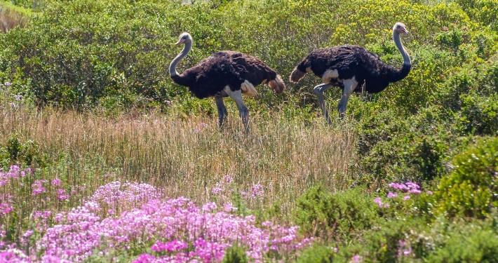 Strauße im Westcoast National Park Südafrika