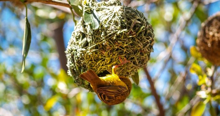 Webervogel im Westcoast National Park Südafrika