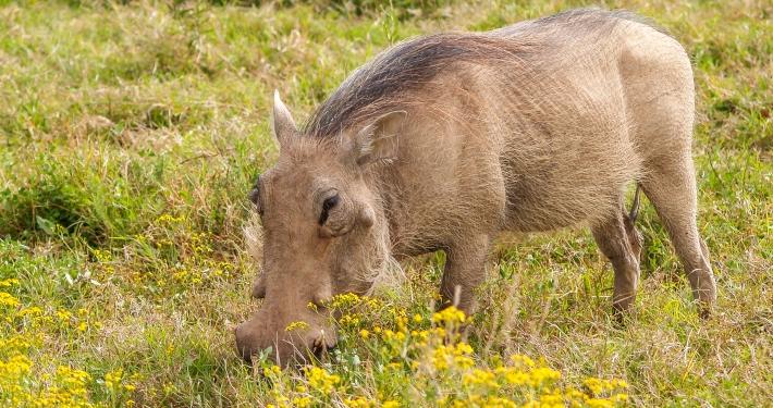 Warzenschwein im Addo Elephant National Park Südafrika