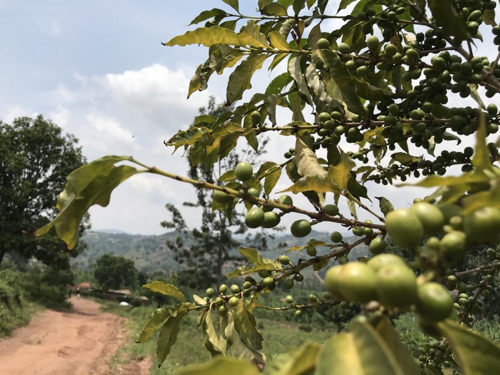 Kaffeebaum in Ruanda
