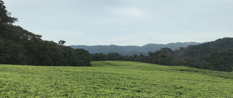 Teefelder in Ruanda