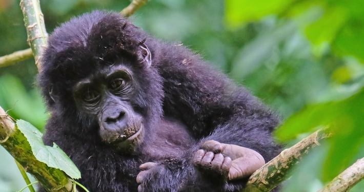 Berggorillas Uganda Ruanda