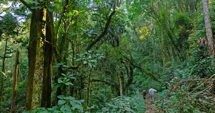 Trekking Berggorillas Uganda Ruanda