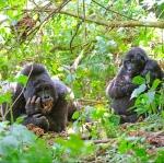 Gorillas-Uganda-Ruanda-5